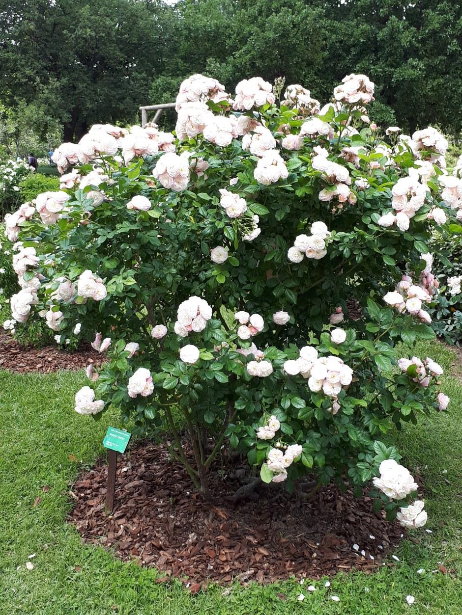 Concurso-Internacional-de-Rosas-Nuevas-2018